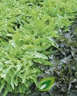 Sałata liściowa