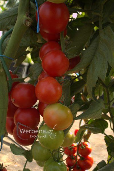 a pomidor Dafne F1 tunel 1 scaled