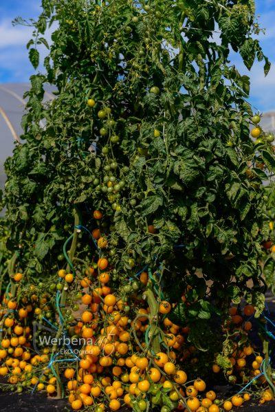 a pomidor w. Goldkrone ZDJ PR 105 scaled