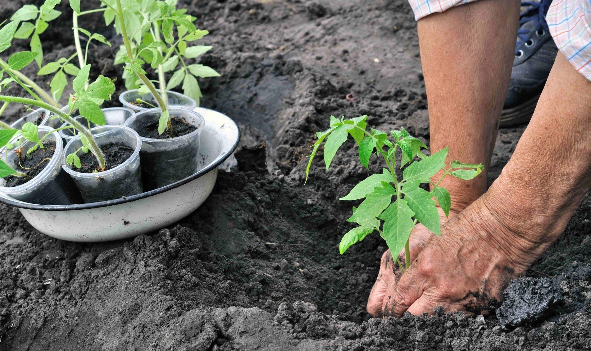 sadzenie pomidorow z rozsady3894 1 scaled